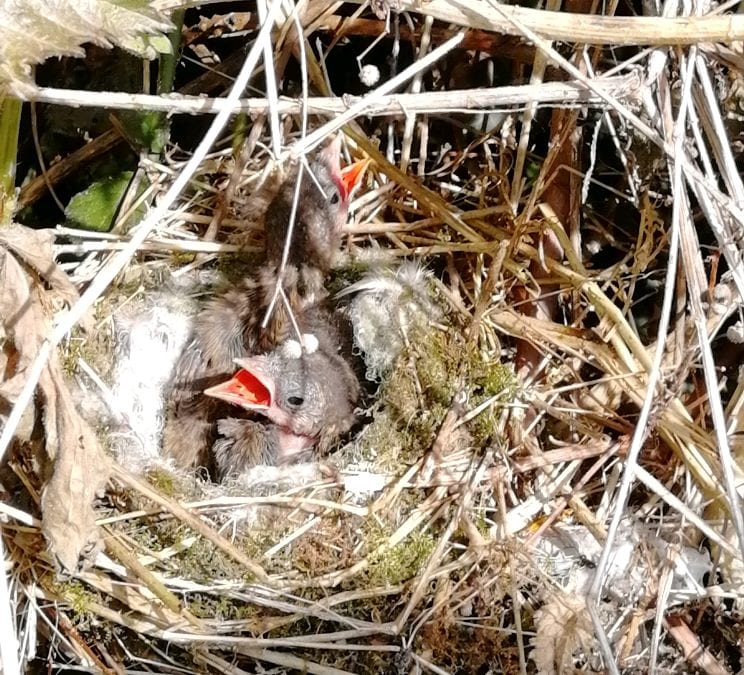 Wildlife area hosts two birds' nests
